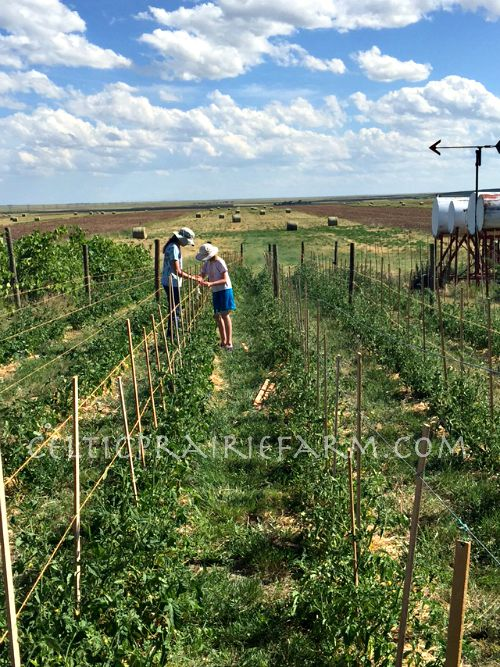 staking up vines