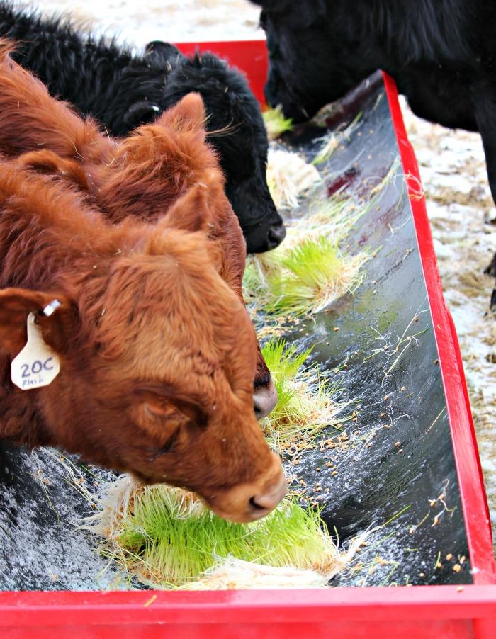cow fodder 2