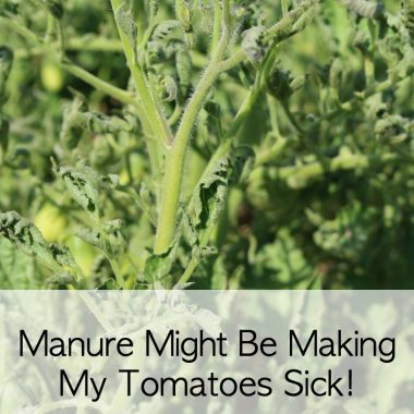 Manure Might be Making My Tomatoes Sick!
